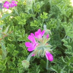 Pelargonium 'Pink Capitatum'(Geranium Scented 'Pink Capitatum') |  Buy Herb Plant Online in 1 Litre Pot