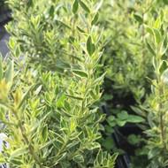 Myrtus communis subsp. tarentina 'Variegata'(Variegated Myrtle Tarentina)  | Buy herb plant online in 1 Litre Pot