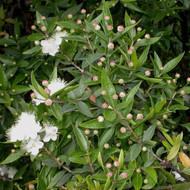Buy Myrtus communis, Myrtle Communis | Buy Herb Plant Online in 1 Litre Pot