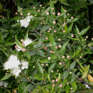Buy Myrtus communis, Myrtle Communis | Buy Herb Plant Online in 1 Litre Pot