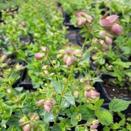 Origanum dictamnus (Cretan Oregano) Herb Plant | Herb Plant for Sale in 1 Litre Pot