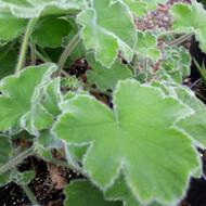 Pelargonium 'Tomentosum'(Geranium Peppermint Scented )|Buy Herb Plant online in 1 Litre Pot