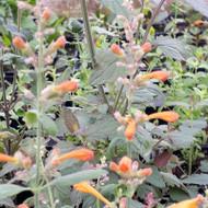 Agastache 'Tango'(Giant Hyssop'Tango')   Herb Plant for Sale Online
