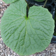 Wasabia japonica ( Wasabi or Japaneses Horseradish) |  Buy Herb Plant Online in 1 Litre Pot
