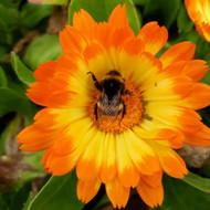 Calendula officinalis 'Oopsy Daisy'(Marigold Pot)| Buy Herb Plant Online