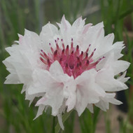 Centaurea cyanus 'Romantic Classic' |Cornflower 'Romantic Classic' |Herb Plant for sale in 9cm Pot