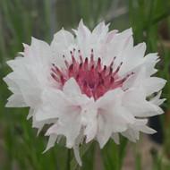 Centaurea cyanus 'Romantic Classic' |Cornflower 'Romantic Classic' |Herb Plant for sale in 9cm Pot