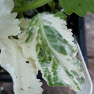 Armoracia rusticana 'Variegata' (Variegated Horseradish)Herb Plant