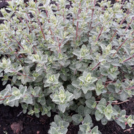 Buy Nepeta 'Walkers Low' (Catmint 'Walkers Low') | Herb Plant for Sale in 1 Litre Pot |