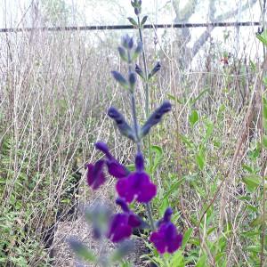 Salvia x jamensis 'Nachtvlinder' (Sage 'Nachtvlinder') |Herb Plant