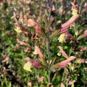 Salvia 'La Mancha' (Sage 'La Mancha')  Herb Plant for sale online in 1 Litre Pot