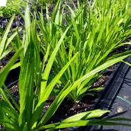 Liatris Spicata 'Alba'(Button Snakewort 'White') Herb Plant