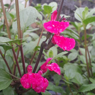 Salvia sp.'Lady Jane' flower close up |Herb Plant for Sale in 1 Litre Pot
