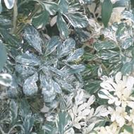 Ruta graveolens Variegata|Variegated Rue| Herb Plant for sale online in 1Litre Pot