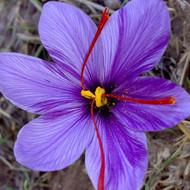 Crocus Sativus (Saffron Crocus) Herb Plant