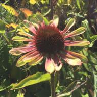 Echinacea 'Green Twister'   Green Flower   Buy Herbs Online