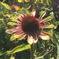 Echinacea 'Green Twister' | Green Flower | Buy Herbs Online