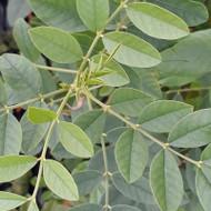 Glycyrrhiza glabra (Liquorice) Buy Herb Plant Online