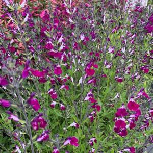 Salvia 'Amethyst Lips' (Amethyst Lips') | Herb Plant for sale