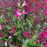 Salvia 'Cherry Lips'  | Herb Plant for sale  in 1litre pot