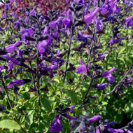 Salvia x jamensis 'Javier' (Sage ''Javier')  Herb Plant