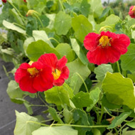 Tropaeolum majus 'Jewel Cherry Rose'(Nasturtium 'Jewel Cherry Rose')| Buy Herb Plant in 9cm pot