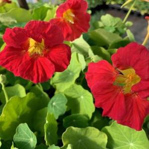 Tropaeolum majus 'Jewel Cherry Rose'(Nasturtium 'Jewel Cherry Rose')| Buy Herb Plant