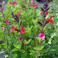 Salvia 'Wine and Roses' (Sage'Wine and Roses') |Herb Plant for sale online