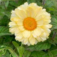 Calendula officinalis 'Snow Princess'|Marigold 'Snow Princess'| Herb Plant in 9cm pot