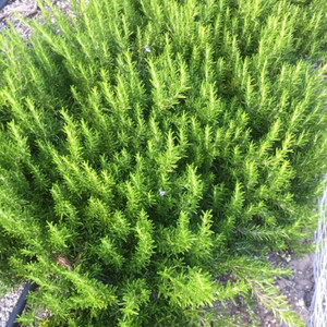 Rosmarinus officinalis 'Capercaille' Rosemary 'Capercaille'  Herb Plant for sale in 9cm pot