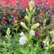 Salvia greggii 'Alba' (Autumn Sage 'Alba')| Herb Plant for sale in 1 Litre pot