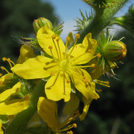 Agrimony yellow flower