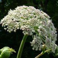 Buy Angelica 'Archangelic' Angelica Archangel   Potted Herb Plant   Hooksgreen Herbs