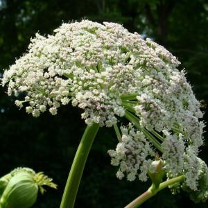 Buy Angelica 'Archangelic' Angelica Archangel | Potted Herb Plant | Hooksgreen Herbs