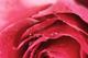 Rose by Attar Mist