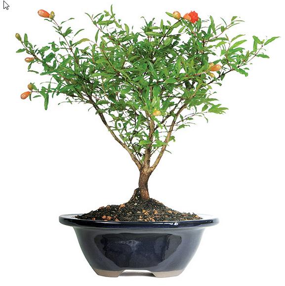 pomegranate bonsai tree - Deals