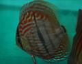 Rio Ica Heckel Discus Fish  3 inch
