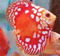 Discus Fish Rafflesia 3 inch