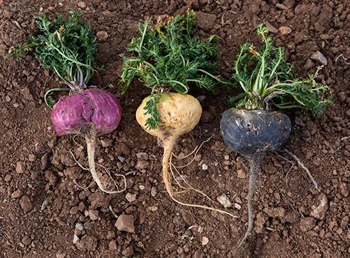 3 Color Maca Roots
