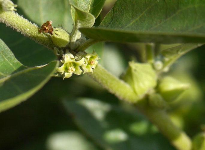 Ashwaganda Herb