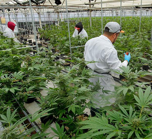 Lab coat people nurturing cannabis plants