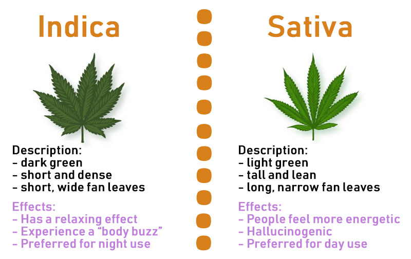 Indica, Sativa, or Hybrid - Which Strain is Best for You