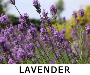 lavender herbs for vaping