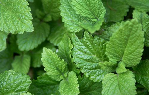 Lemon Balm Herbs