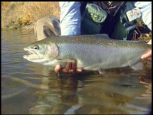 Alaska Fly Fishing - Big Rainbow Trout