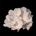 Merulina Star Coral (Echinopora Pacifica)