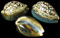 Cypraea Mauritiana Set of two large shells