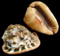 Cassis Rufa- cameo shell