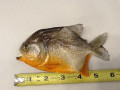 Small Piranha 6-7""
