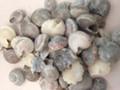 Gray Umbonium